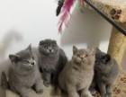 纯种蓝猫报价多少 蓝猫好养吗 蓝猫怎么挑选