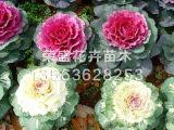 江苏羽衣甘蓝批发 荣盛花卉苗木出售实用的羽衣甘蓝