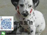 家养纯种斑点狗活泼可爱疫苗驱虫做好包健康