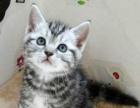 【自家繁殖美国短毛猫 加白虎斑—纯种健康会用猫砂】