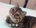 加菲猫cfa绿纸繁育级猫咪后代