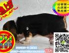 上海哪里有卖巴吉度猎犬的 巴吉度猎犬一般多少钱