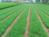 绿化苗龙柏苗今年价格,龙柏苗图片,龙柏苗市场行情