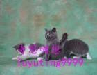 哪有卖英短 布偶宠物猫的多少钱