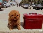 南京哪里有泰迪卖 南京泰迪多少钱 南京泰迪价格 公母都有