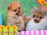 可爱迷人网红博美俊介犬品相好带证书
