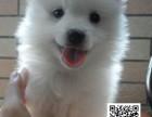 高品质银狐犬 专业基地 健康签协议 可送货上门