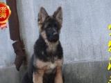 警用级德牧幼犬 德国牧羊犬 黑背 冠军后代