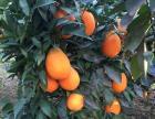 较秭归脐橙