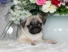 重庆本地上门低价出售 纯种巴哥犬 当面检查 包健康送用品
