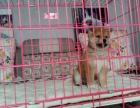 南充日系柴犬多少钱 南充赤色柴犬的价格是多少 黑色柴犬怎么卖