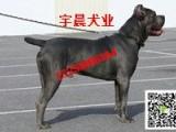 血统卡斯罗犬多少钱一只 纯种卡斯罗犬价格图片 小卡斯罗价格