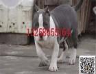 镇江哪里有卖纯种斯塔福犬幼犬的 小斯塔福犬的训练