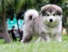 珠海纯种阿拉斯加价格 珠海哪里能买到纯种阿拉斯加犬