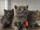 纯种蓝猫猫舍 上海爱宠网品牌猫舍 公母多只挑选