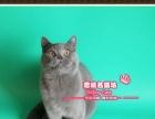 健壮的英短猫蓝猫小帅哥2号--《思晴名猫坊》
