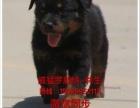 中山到哪里买罗威纳小狗请问罗威纳几个月大最好养