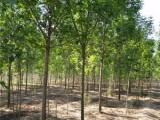 威海20公分合欢树钱合欢树