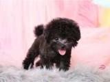 武汉出售小体灰泰迪 送货上门疫苗齐全茶杯犬 小型犬宠物狗