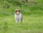 全国连锁双血统苏格兰牧羊犬繁殖基地 本地可上门