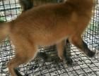 宠物狐红狐多少钱一只呢