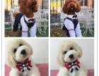 犬舍直销基地出售高品质巨型贵宾犬纯种包活 巨贵幼犬