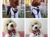 新年特惠基地出售高品质巨型贵宾犬纯种包活 巨贵幼犬
