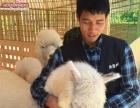 浙江台州拍摄租羊驼 活动袋鼠租赁 展示斑马出租