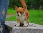 中国较大双血统柯基犬繁殖基地 可实地考察