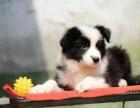 中国较大双血统边境牧羊犬繁殖基地 可实地考察