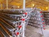 畢節正規的鵪鶉養殖基地