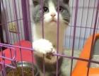 猫舍直销家养大脸蓝猫八字脸蓝白 纯种健康 公母