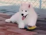出售高貴優雅微笑天使薩摩耶幼犬 雪白無淚痕帥氣拉風