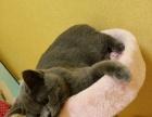 英短蓝猫种公借配配种