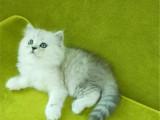 河北保定猫舍直销金吉拉幼猫出售