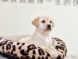 南宁出售 纯种拉布拉多幼犬 疫苗齐全出售中 可签协议健康保障