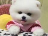 博美 卖博美犬 重庆出售博美犬