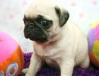 宠物店里的八哥犬可以买吗 健不健康