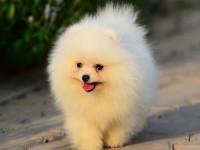 本犬舍常年出售纯种哈多利博美幼犬