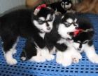 石家庄出售包健康纯种阿拉斯加幼犬 当面检测犬瘟细小