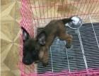 济南高品质马犬出售中 质量三包 购买可签协议