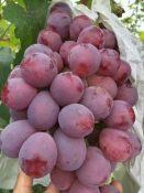 红提葡萄种植产地大荔县批发葡萄价格红提葡萄基地