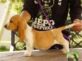 出售高品质纯种巴吉度犬 血统纯正 保证健康完美售后