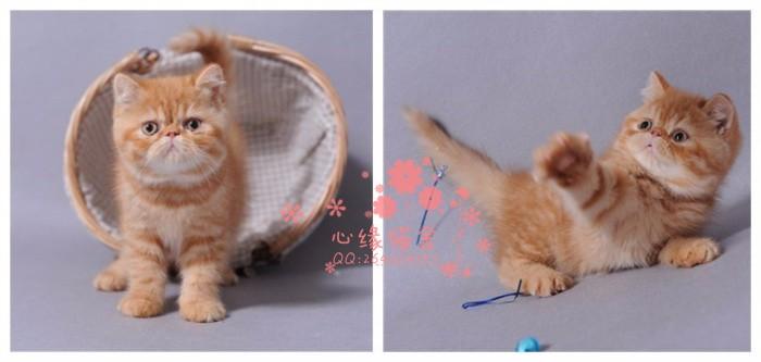 南宁宠物 南宁哪里的加菲猫较便宜 纯种加菲猫一般卖多少钱一只