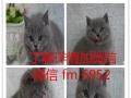 英国短毛猫活体 纯种幼猫 英短蓝猫家养活体宠物猫