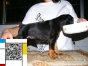 上海CKU营业执照双犬舍出售纯种极品杜宾幼