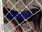 莱州红价格,哪里出售中国红狼犬,怎么驯养莱州红幼犬