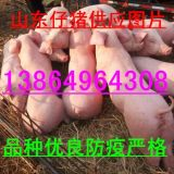 山东临沂仔猪厂家