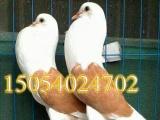 供应元宝鸽,仙女鸽,海鸥鸽,麻背,墨环,熊猫金鱼鸽,邮鸽等。