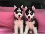 哈士奇犬疫苗齐全、可见狗父母、送货上门签协议